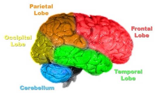 Beyin anatomisi. Primalchaos / wikimedia