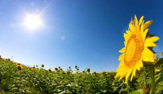 What Makes Sunflowers Face The Sun?
