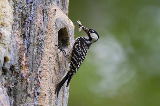 紅啄木鳥是生活在這些樹林中的許多受威脅物種之一。 美國FWS,CC BY