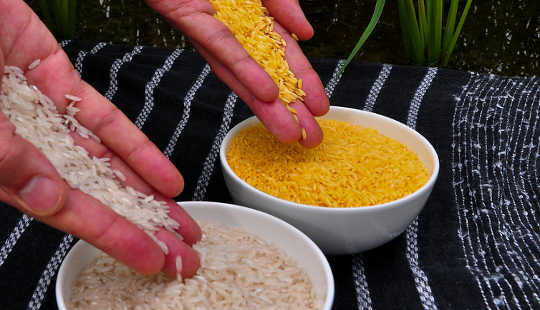 Golden Rice (right) versus regular rice. International Rice Research Institute (IRRI) / wikimedia, CC BY-SA