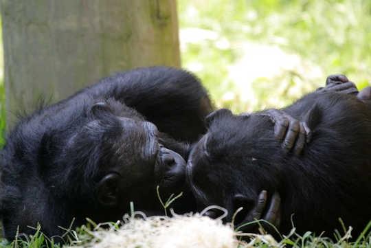 """倭黑猩猩生活的格言是""""让爱不是战争""""。 弗兰克·彼得斯/ flickr"""