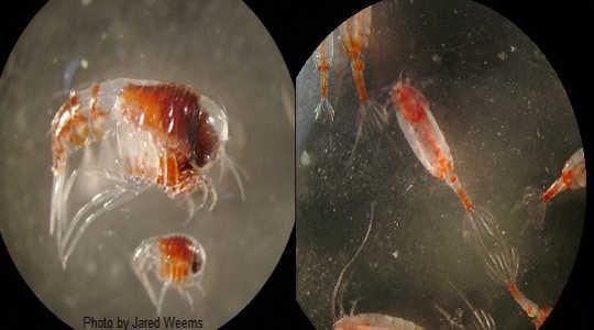 zooplankton 7 20