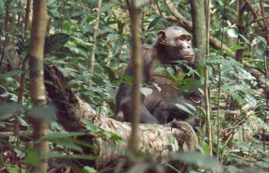Chimpanzees Hunting For Honey Are Very Very Clever