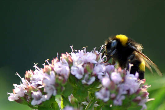 This Common Herb Could Bring Bees Buzzing To Your Garden