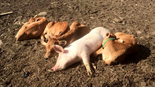 Rosie the anxious pig likes to sleep with bobby calves at Sugarshine animal sanctuary.