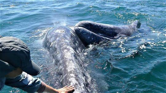 Ang Gray Whales
