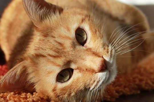 बिल्लियों के हीलिंग, सफाई, और उत्थान शक्तियों