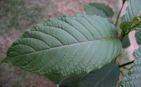 Les dangers et le potentiel du kratom opioïde naturel
