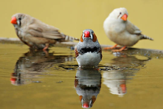 http://maxpixel.freegreatpicture.com/Zebra-Finch-Birds-Water-Bottle-Red-Red-Beak-Bill-1440055