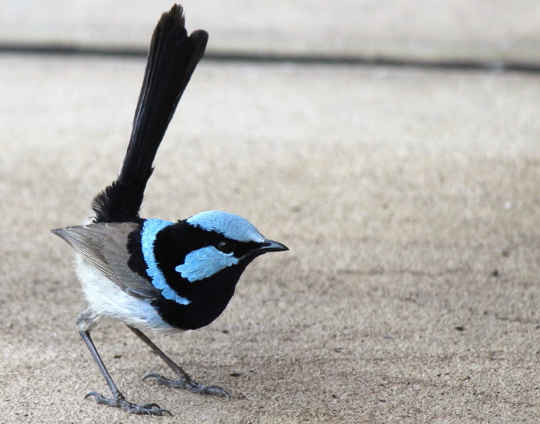 Fairy wrens can become surprisingly bold around gardens and houses. Photo by Wanda Optland, supplied by author.