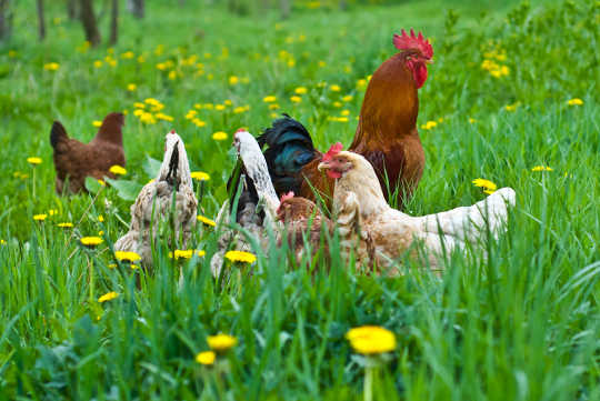 What Comes First: The Free-range Chicken Or The Free-range Egg?
