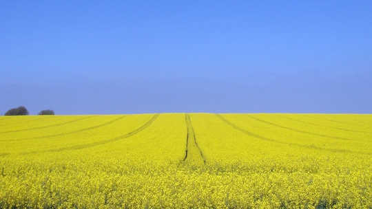 Canola is one of the crops that can involve genetic modification. Paul/Flickr, CC BY-ND