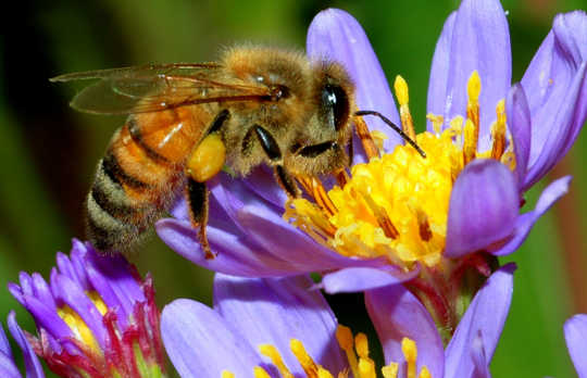 Could Scientists Breed More Resilient Honey Bees?