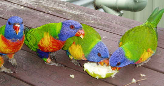 Rainbow lorikeets seem to prioritise food over birdbaths. Photo supplied by Wanda Optland, provided by author.
