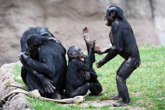 ape er på spill