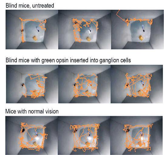 맹인 쥐가 유전자 삽입 후 시력 회복