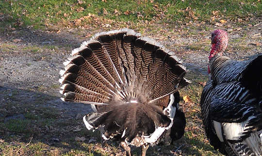 Ang turkey tails 11 14