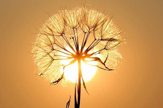 matahari dandelion
