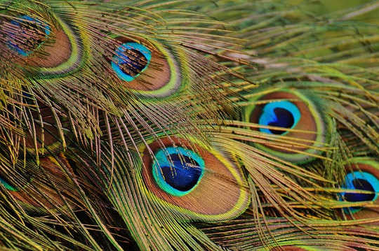 peacock feathers 1312509 640