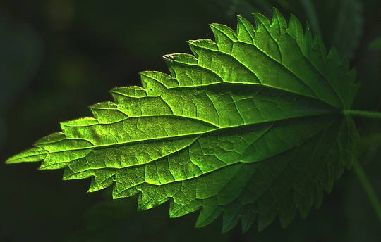 Compound From Stinging Nettles Activates Reusable Cancer Treatment