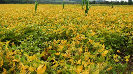 Perché gli agricoltori usano il glifosato per uccidere le loro colture e cosa potrebbe significare per te