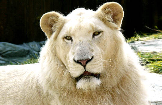 The White Lion of Ancient Zulu Prophecy: The Golden-Hearted Alchemist