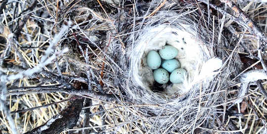 A nest holding the eggs of northern wheatears rests on branches in Greenland.