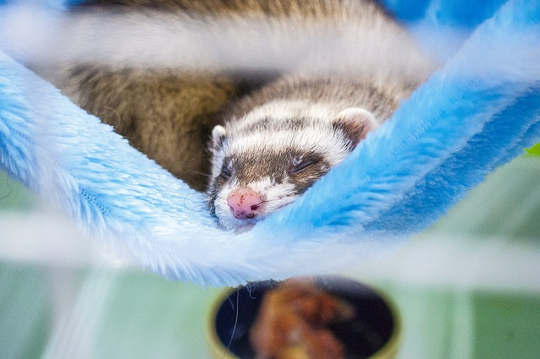 Animals, Even Ferrets, Are Natural Healers