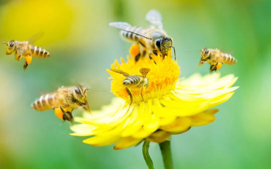 Honeybees Hog Limelight, Yet Wild Insects er de viktigste og sårbare pollinatorer