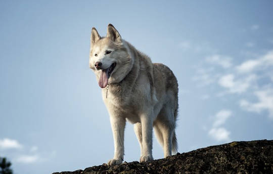 منذ آلاف السنين ، اختفت الكلاب الأمريكية في ظروف غامضة