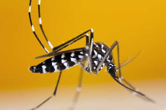 Nyamuk harimau Asia, yang boleh menghantar virus Zika, telah dikesan di selatan Ontario di Kanada.