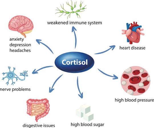 Too much of the stress hormone, cortisol, causes damage throughout the body.