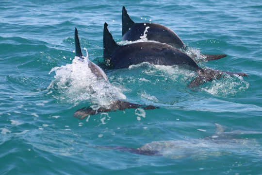 How Dolphins Learn To Work Together For Rewards