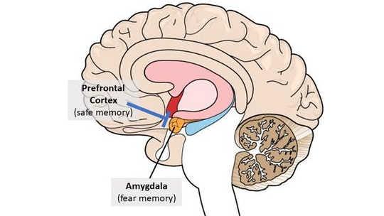 你不能抹去不好的记忆,但你可以学习如何应对它们:如果它不想让它恢复旧的记忆,那么前额纹皮文可以在杏仁核上制动(蓝线)。
