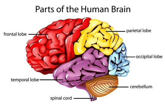 The frontal and temporal lobes of the brain, shown here, are particularly susceptible to injury. (What is traumatic brain injury)