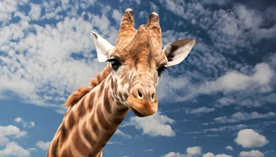 Sacred Messengers Meditation: Bighearted Love and Compassion with Giraffe