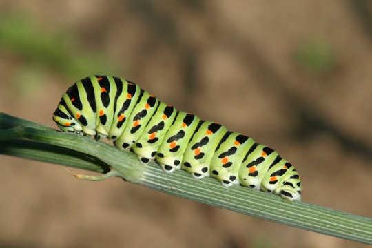 Apakah Kupu-kupu Ingat Menjadi Ulat?
