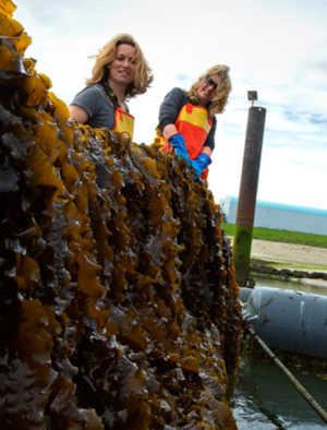 समुद्री शैवाल खाद्य 3 8 के रूप में समुद्री शैवाल