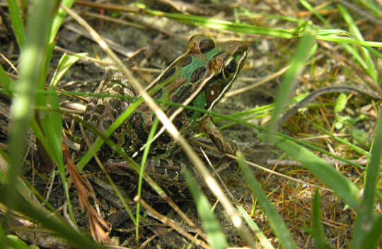 Southern Leopard Frog - Photo credit: Stephen Friedt, Wikimedia.org