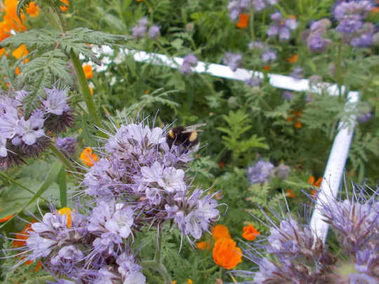 A bumblebee uses one of Bournemouth Borough Council's pollinator plantings.  (what are city bees' favorite flowers?)