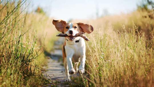 棒を口に入れて走っている犬