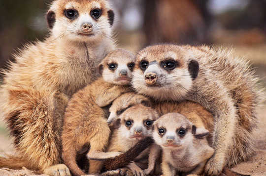 Daughters Of Stressed Meerkat Moms Meer Waarskynlik Om Te Help
