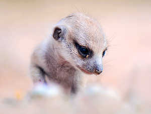 Daughters Of Stressed Meerkat Moms More Likely To Help Out