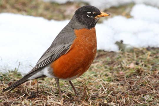 Noen ser min gode venn Robin? Kan du fortelle meg hvor han er borte?