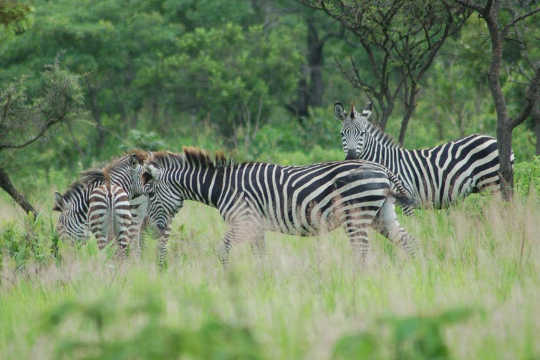 Why Zebra's Stripes Are A No Fly Zone For Flies