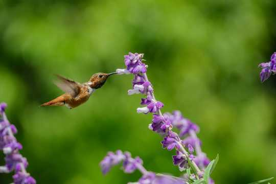 Why Don't Hummingbirds Get Fat Or Sick From Drinking Sugary Nectar?