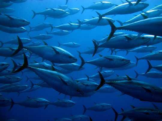 气候变化和过度捕捞正在提高鱼类中的有毒汞含量