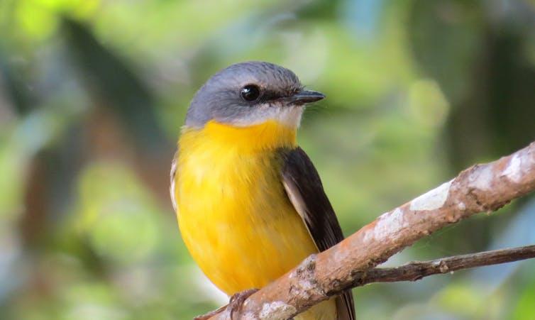 क्यों अधिकांश मूल निवासी पक्षी प्रजाति अपने घरों को खो रहे हैं