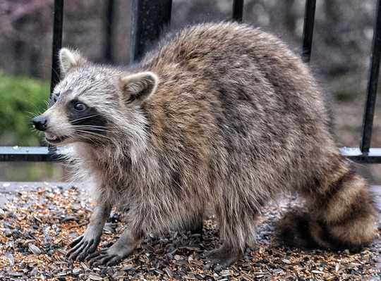 How To Handle Raccoons, Snakes And Other Critters In Your Yard