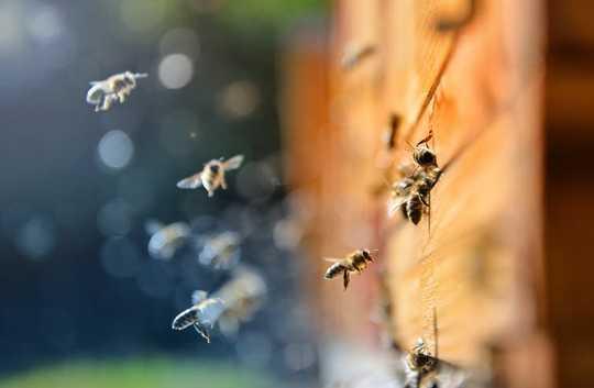 城市养蜂人如何帮助拯救野生蜜蜂
